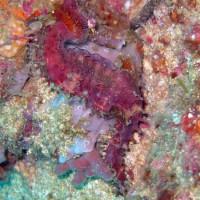 Dorniges Seepferdchen, Oktober 2003