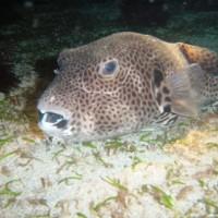 Riesen-Kugelfisch, Oktober 2003