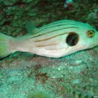 Manila-Kugelfisch, Oktober 2003