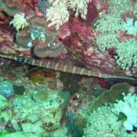 Trompetenfisch, Oktober 2003