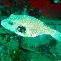 Weißflecken-Kugelfisch, Oktober 2003