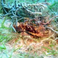 Scorpionfisch, Oktober 2003