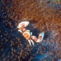 Anemonenkrebs, Oktober 2003
