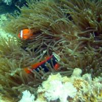 Weißbinden-Glühkohlen-Anemonenfisch, Oktober 2003