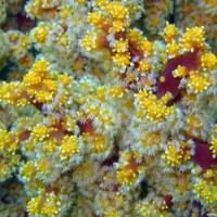 Korallenart, Oktober 2003