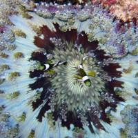 Clarks-Anemonenfisch über Glasperlen-Anemone, Oktober 2003