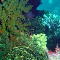 Grüne Kelchkoralle (Vordergrund) und Haarsterne, Oktober 2003