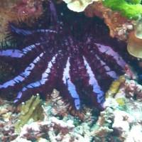 Dornenkronenseestern, März 2010