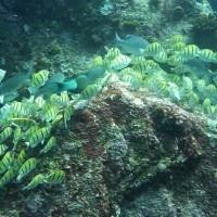 viele viele Schwarzstreifendoktorfische, März 2010